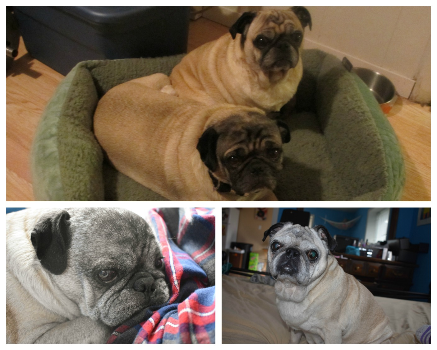Senior pugs the difference between age 9 and age 14