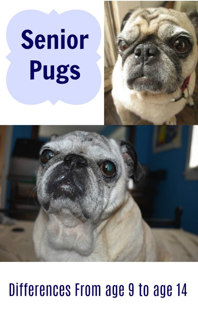 Senior Pugs ages 9 versus 14