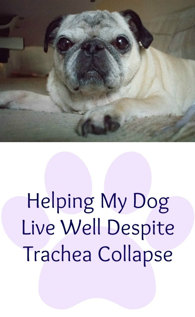 Trachea collapse in pugs. How to help your dog live well with trachea collapse