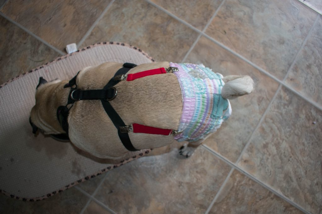 How to keep a diaper on a dog