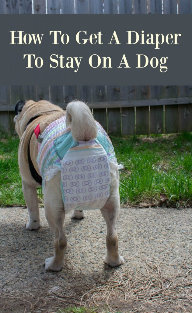 How to get a diaper to stay on a dog. My pug tried a variety of diaper set-ups before we figured it out!