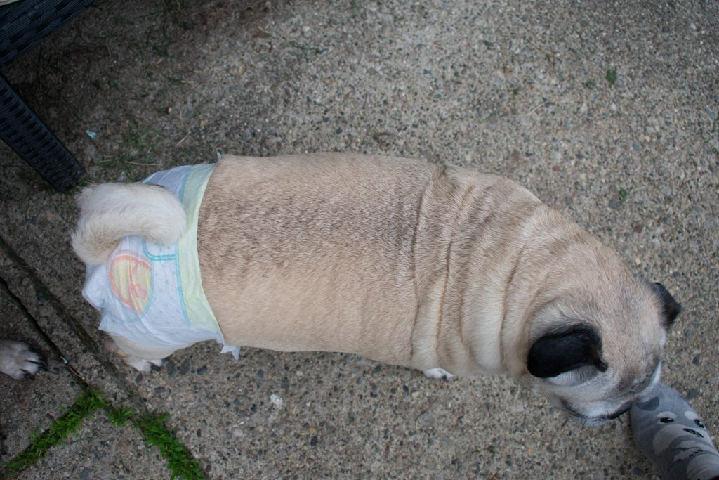 Pampers Cruisers Baby Diapers On pug dog