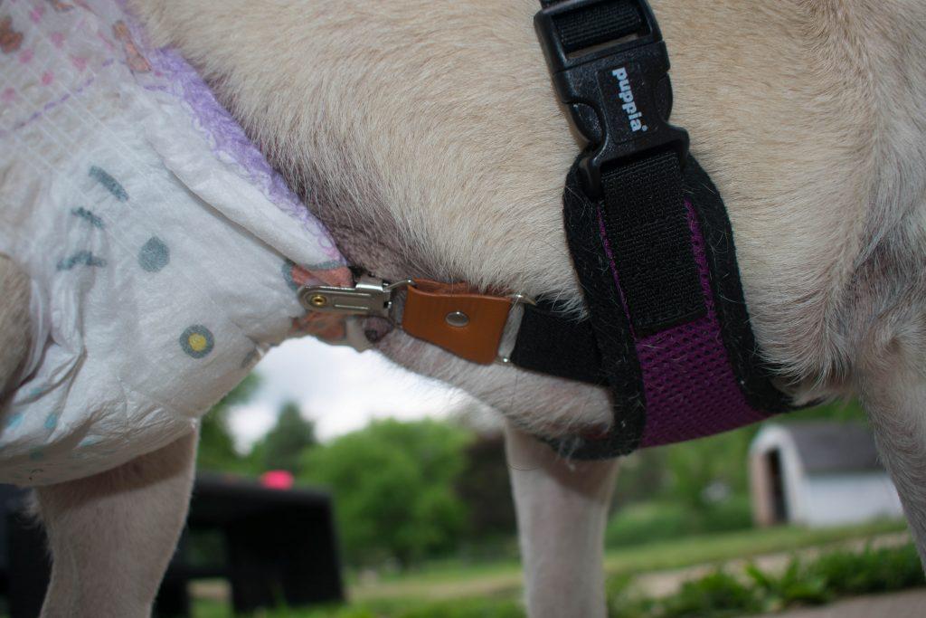 Dog suspenders keep diaper on