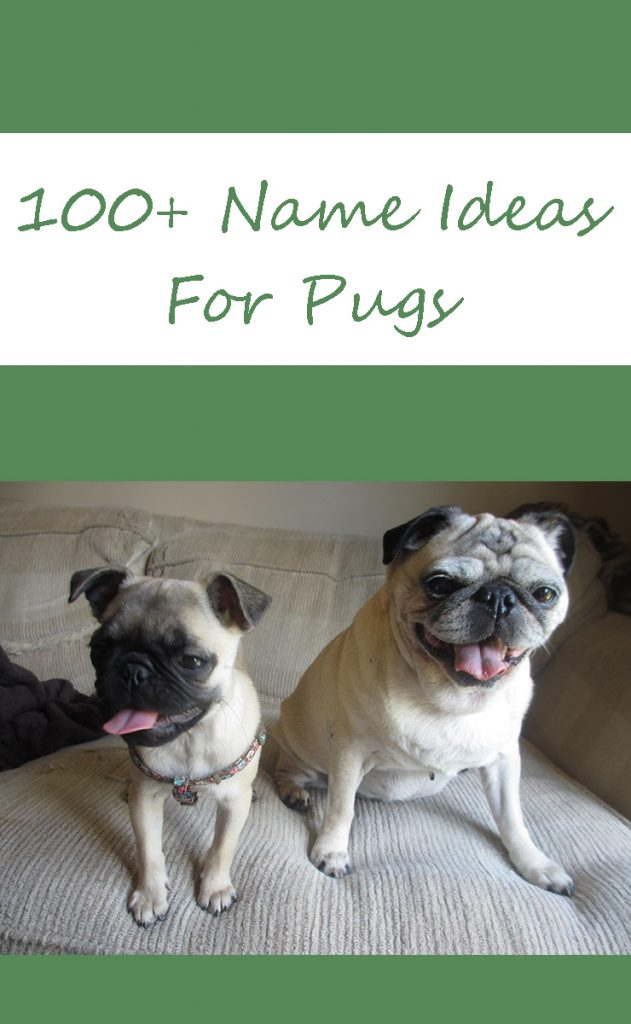 100+ pug name ideas for pugs young or old!