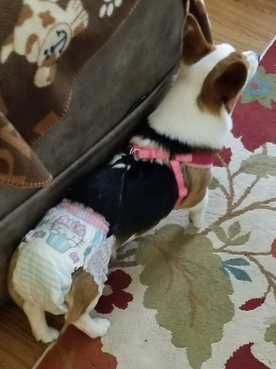 corgi diapers to stay on a dog