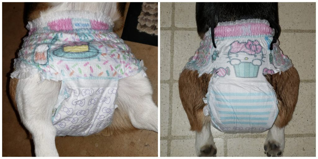 Corgi diaper stay on your dog